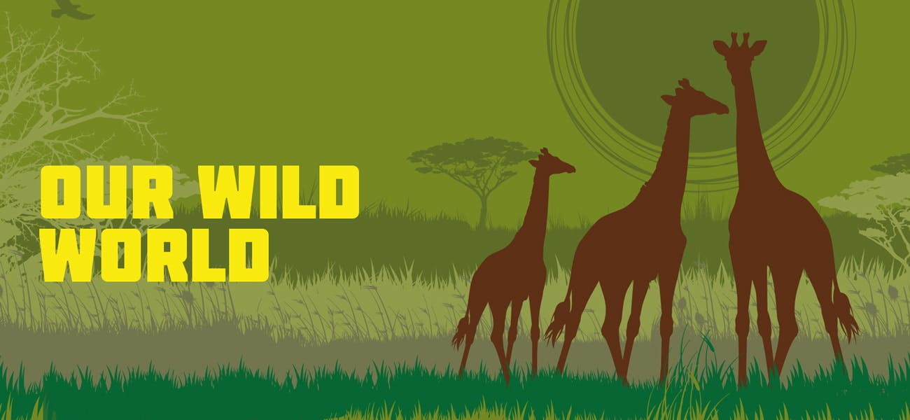 An illustration of three giraffes in a grassland background with the word Our Wild World